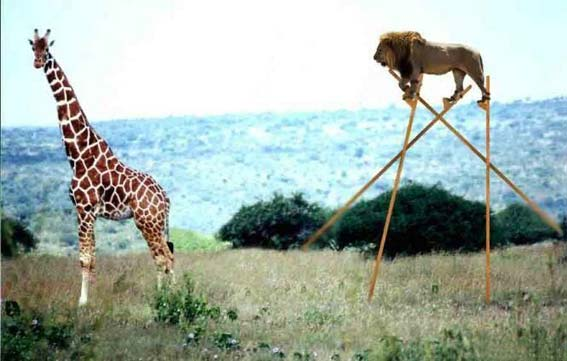 How Lions Catch Giraffes In Africa >LOL